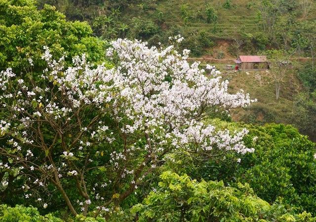 Dọc các cung đường hay trên các sườn núi tại Sơn La đều có sắc trắng của hoa ban