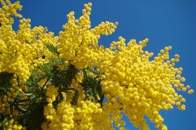 Hoa Mimosa phủ một màu vàng óng lên thành phố ngàn hoa