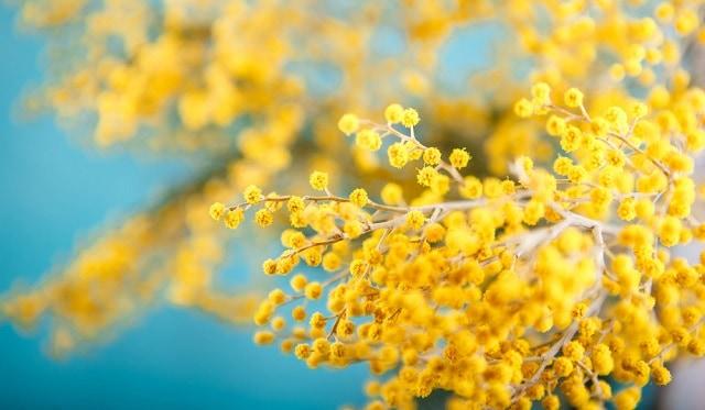 Mimosa tượng trưng cho vẻ đẹp thanh khiết nhưng không kém phần kiêu sa