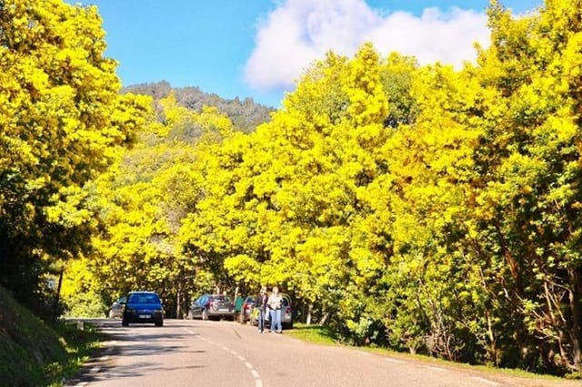 Mùa hoa mimosa Đà Lạt khoe sắc khi xuân về