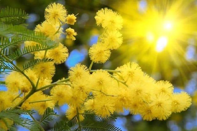 Mimosa Đà Lạt bung nở vào Xuân