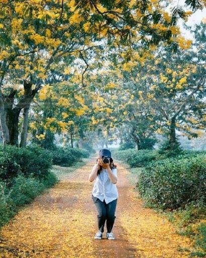 Hoa Mimosa Đà Lạt là cảm hứng của nhiều nhà chụp ảnh