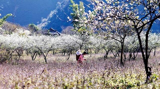 Mộc Châu thu hút bởi vẻ đẹp nhẹ nhàng, lãng mạng