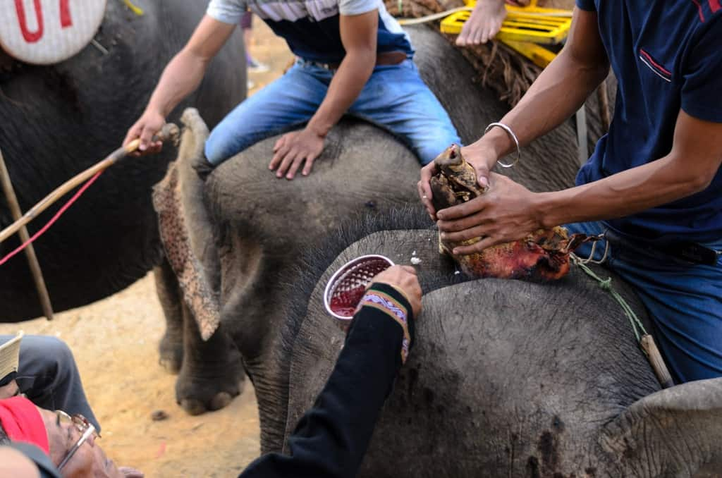 Những con voi được thực hiện lễ cúng sức khoẻ trước khi thi đấu. Ảnh ST