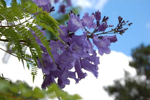 Cận cảnh vẻ đẹp đằm thắm của hoa phượng tím