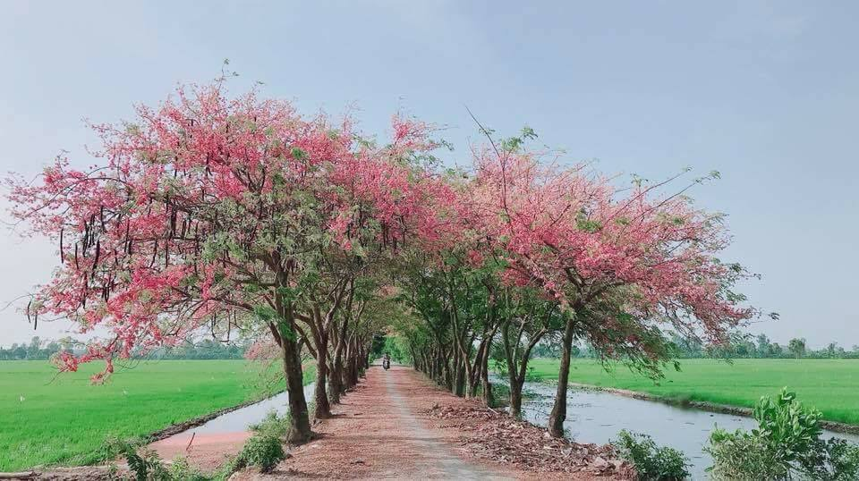 Cây ô môi - Anh đào miền Tây nở hoa đẹp rực rỡ tô thắm cho cả con đường làng