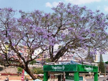 Một trong những cây phượng tím lâu đời tại Đà Lạt