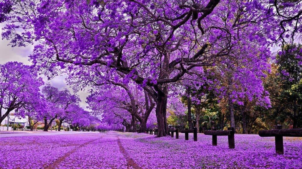 Đà Lạt khi bước vào mùa hoa phượng tím
