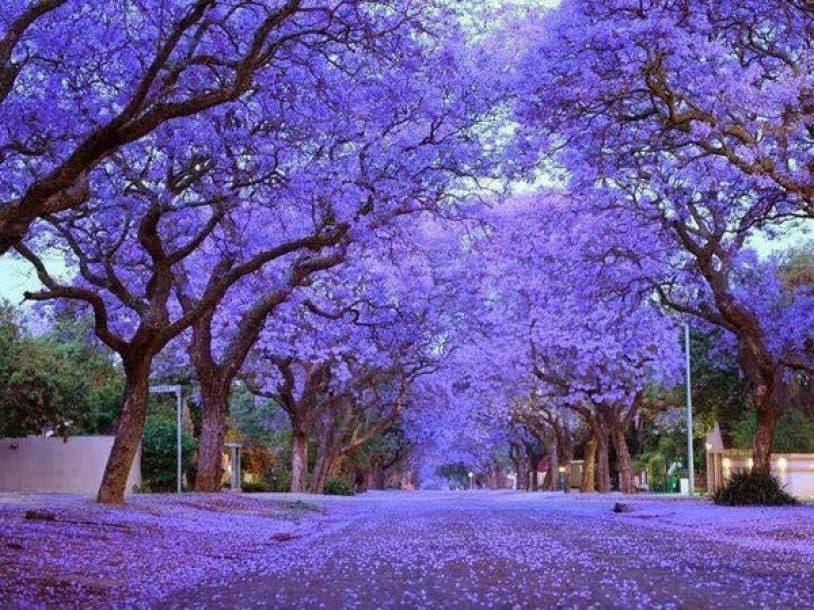 Đà Lạt đẹp mê hồn khi vào mùa hoa phượng tím