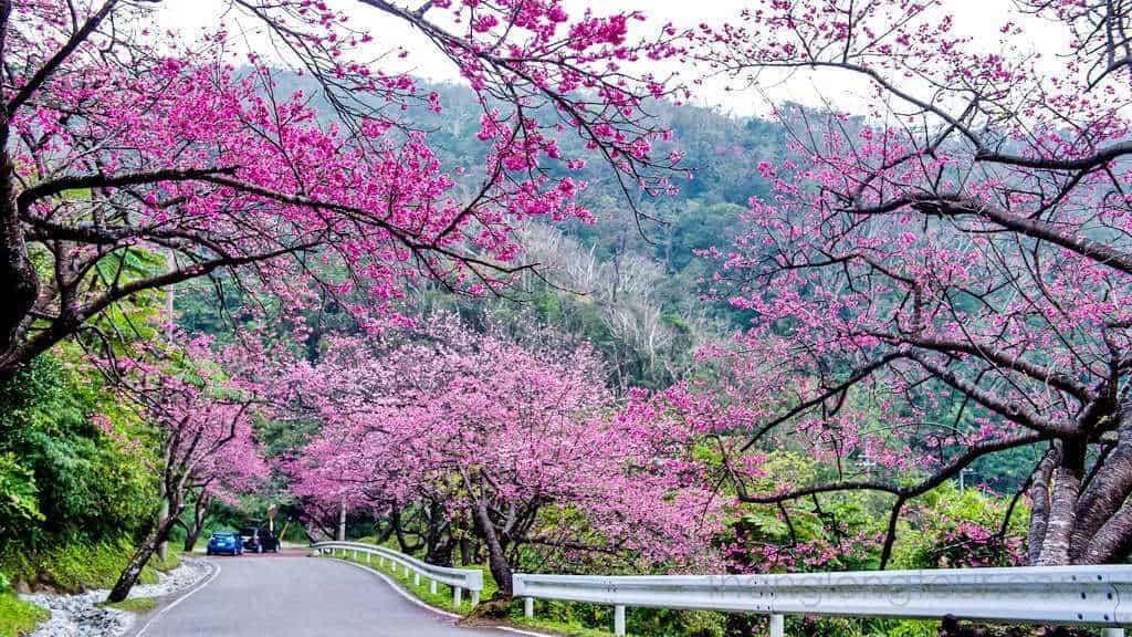 Đà Lạt nhuộm sắc hồng khi hoa anh đào nở vào mùa xuân