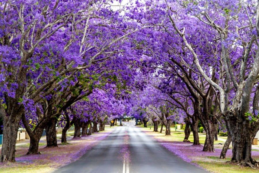 Đà Lạt đầy lãng mạn trong mùa hoa phượng tím