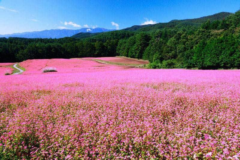 Hà Giang đẹp quyến rũ mùa hoa tam giác mạch