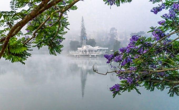 Ngắm phượng tím tại hồ Xuân Hương vào sáng sớm đầy sương