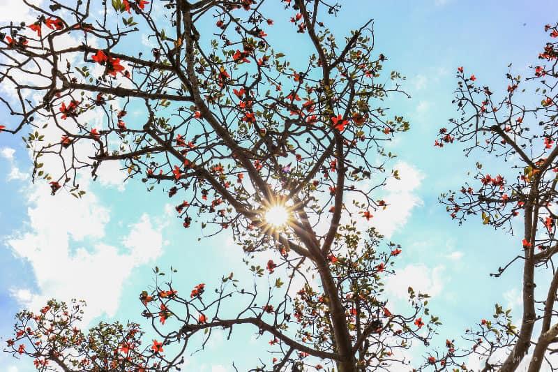 Ngỡ ngàng vẻ đẹp hoa gạo dưới ánh nắng mùa hạ
