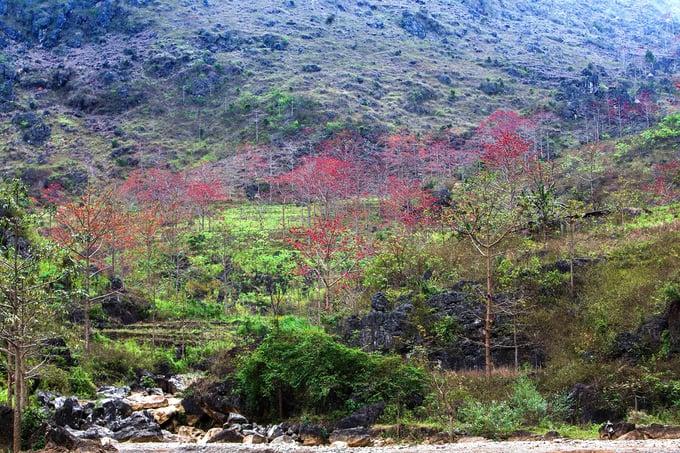 Hoa gạo tô thắm vẻ đẹp hoang sơ ở Hà Giang