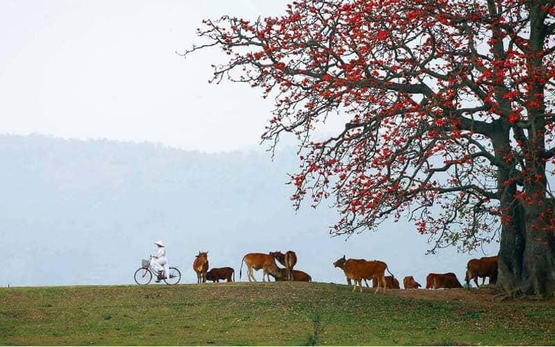 Hoa gạo gắn liền với khung cảnh miền quê