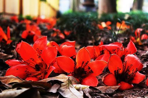Hoa gạo rụng đỏ cả một góc sân