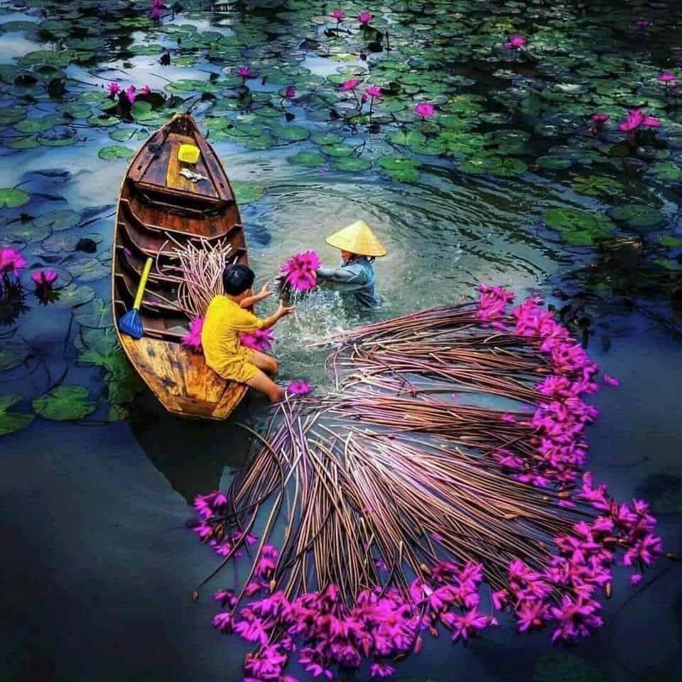 Mùa nước nổi và vẻ đẹp tràn đầy sức sống - Cảnh thu hoạch mùa súng đẹp hút hồn