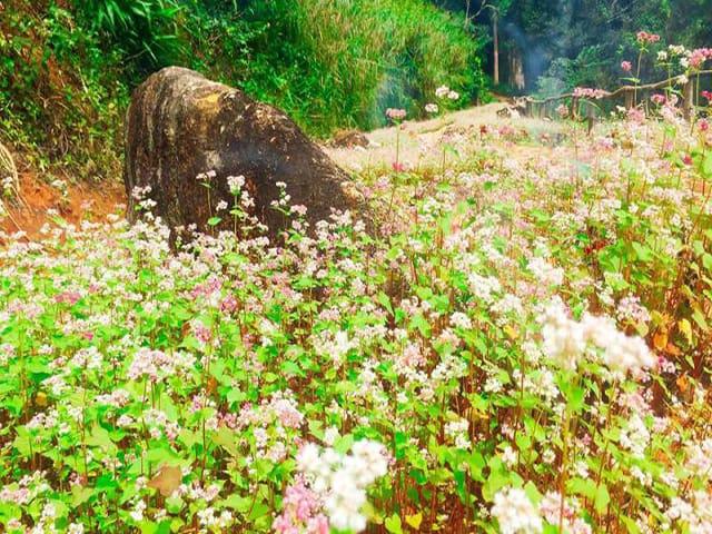 Một góc của cánh đồng tam giác mạch tại Hoa Sơn Điền Trang