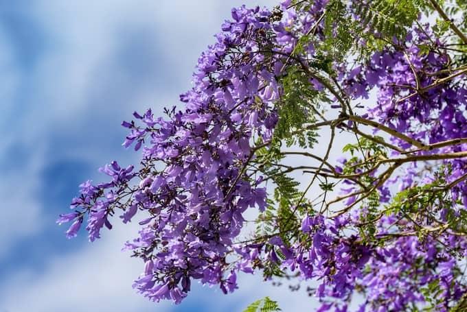 Một màu sắc rất khác của hoa phượng chỉ Đà Lạt mới có