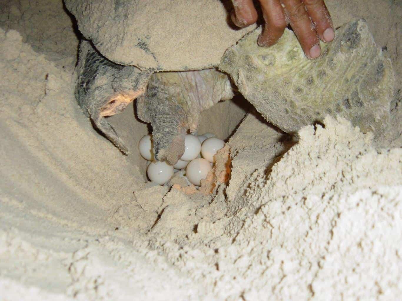 Mùa rùa đẻ trứng ở Côn Đảo cảnh tượng đầy thú vị