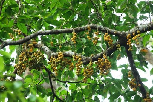 Mùa quả chín tại vườn quốc gia Bù Gia Mập