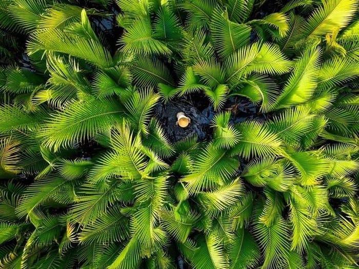 """""""Rừng dừa nước"""" với góc nhìn từ trên cao chụp bằng flycam của tác giả Lương Nguyễn Anh ở Quảng Ngãi"""
