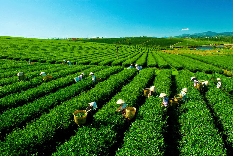 Giữa màu xanh tươi mát của thiên nhiên, nơi hội tụ tinh khí đất trời cho ra lá trà ngon nổi bật lên là hình ảnh người lao động miệt mài