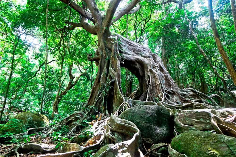Cây đa ngàn năm tuổi địa điểm phượt thủ muốn chinh phục ở bán đảo Sơn Trà