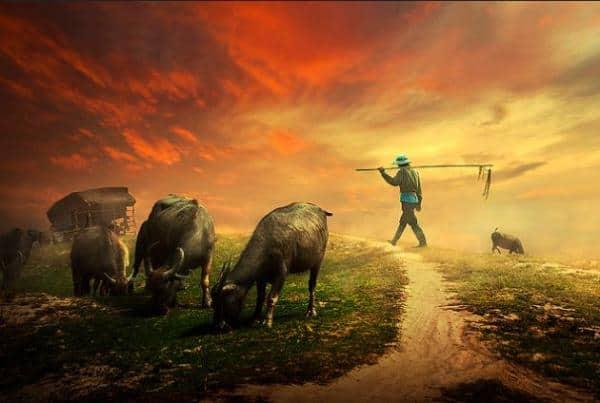 Cánh đồng quê và đàn trâu say xưa gặm cỏ - Cảnh sắc bình dị nhưng say đắm bao tâm hồn người con đất Việt