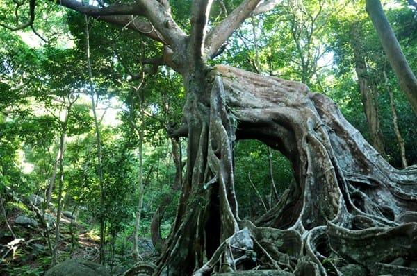 Đúng với tên gọi cây đa ngàn năm tuổi có hình dáng rất giống con nai to lớn