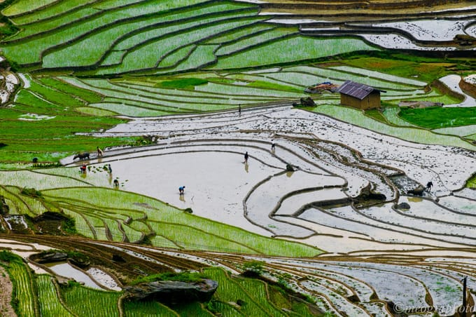 Người dân cấy lúa. Hình: meogiaphoto