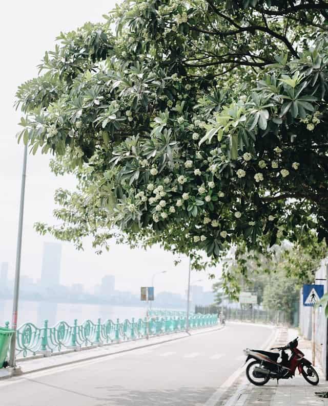 .ở Hà Nội trong những ngày thu sẽ thì sẽ cảm nhận được mùi hoa sữa ngào ngạt