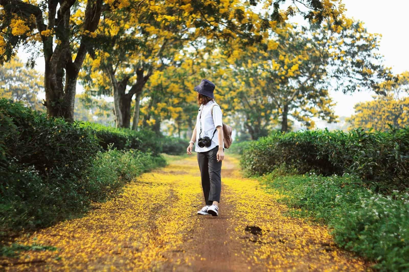 Hoa muồng vàng nở rộ vàng rực cả các con đường ở Gia Lai. Hình: Nguyễn Hà Ly