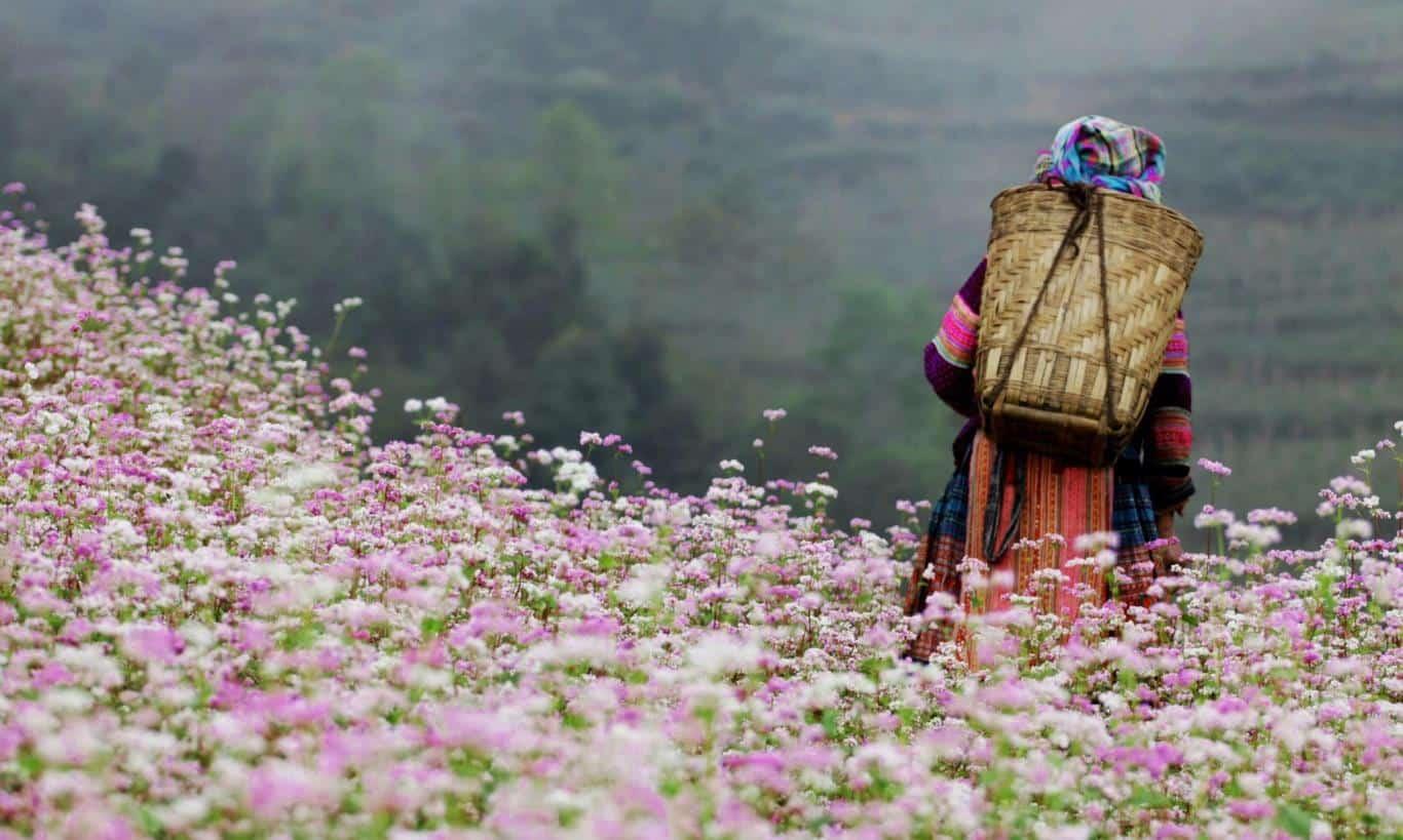 Những cánh đồng hoa tam giác mạch Hà Giang vào tháng 10. Hình: Sưu tầm