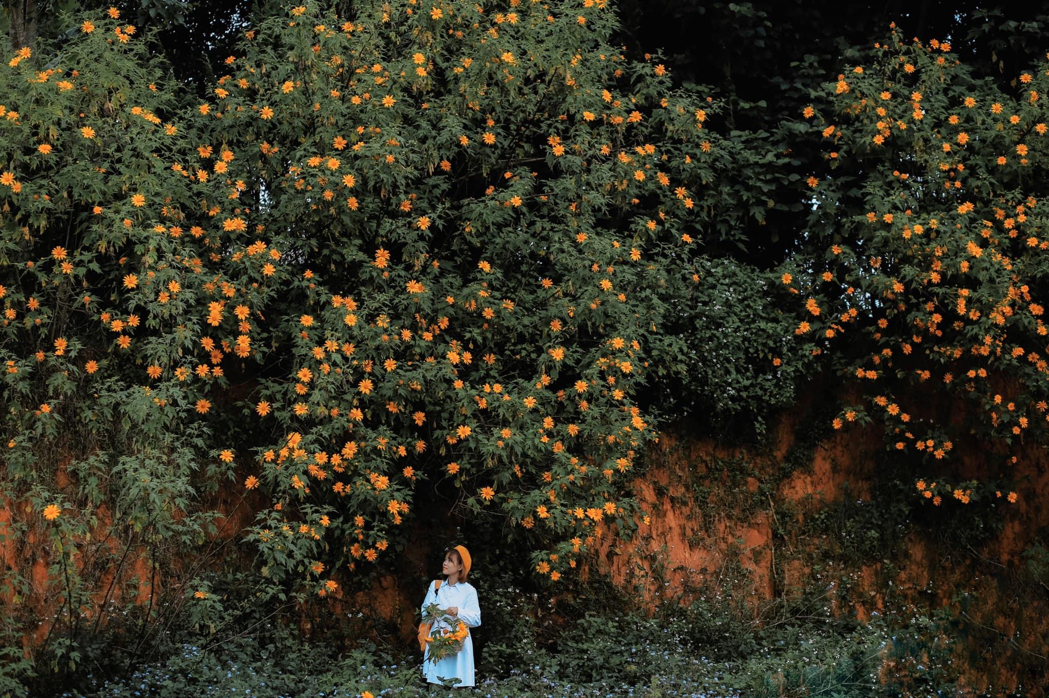 Mùa hoa dã quỳ Đà Lạt. Hình: Đồng Ngô