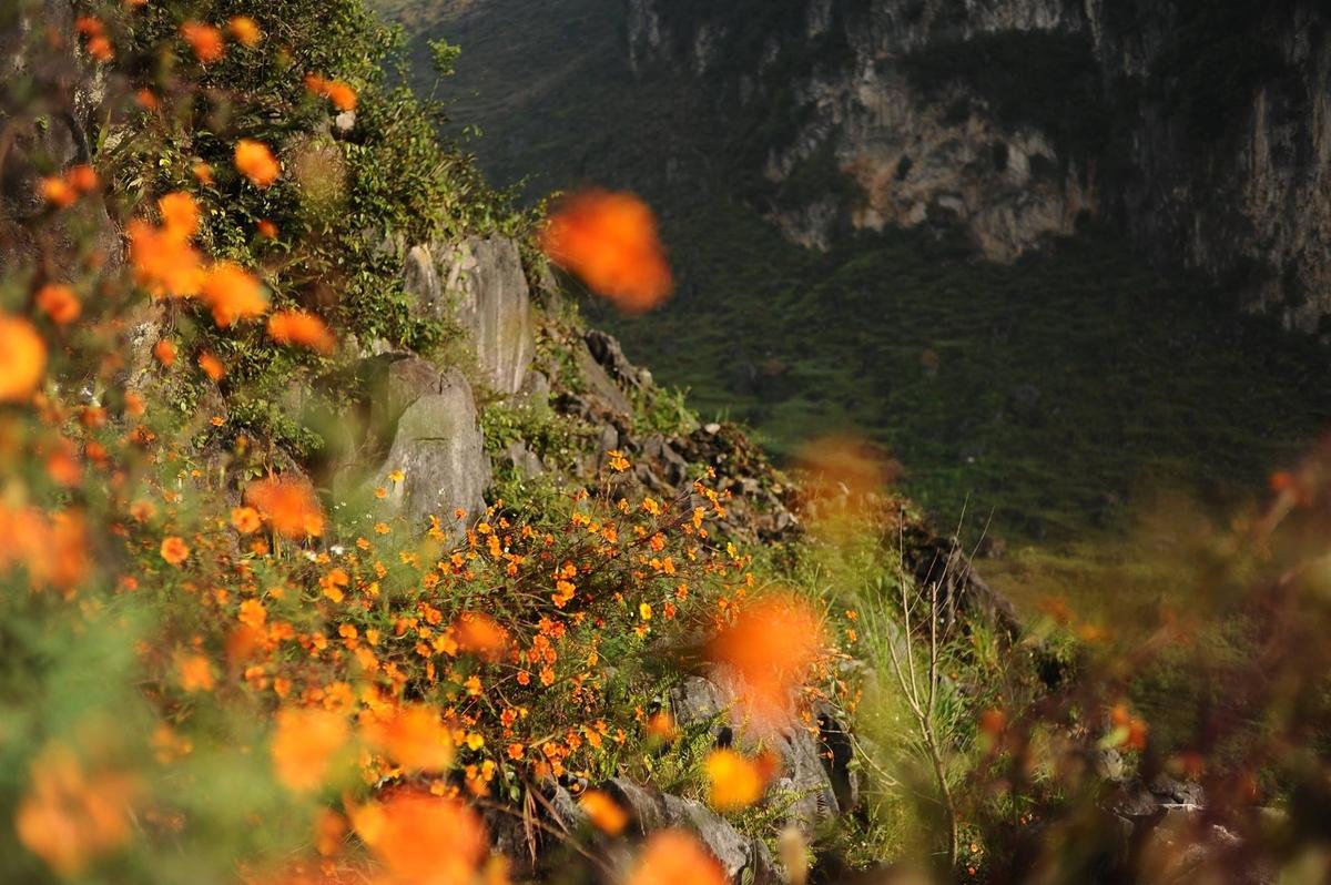 Những bụi hoa cúc cam nở trên những phiến đá. Hình: Sơn Vương Tùng