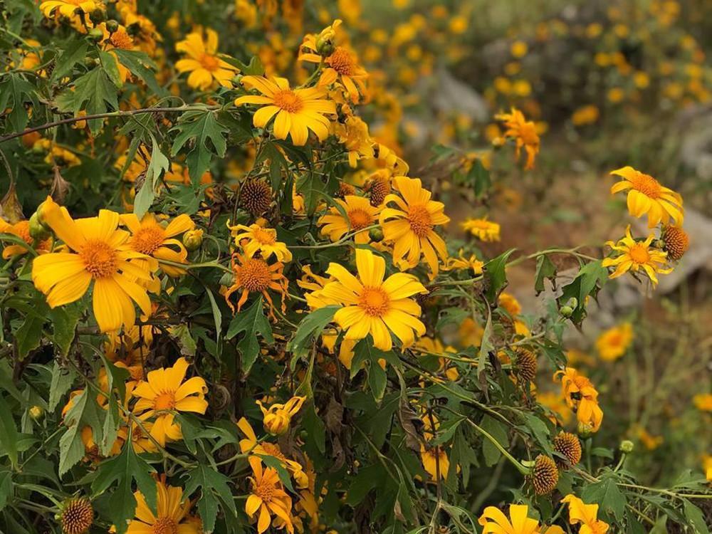 Hãy thức dậy thật sớm để chiêm ngưỡng vẻ đẹp trọn vẹn của hoa dã quỳ nhé. Hình: Sưu tầm