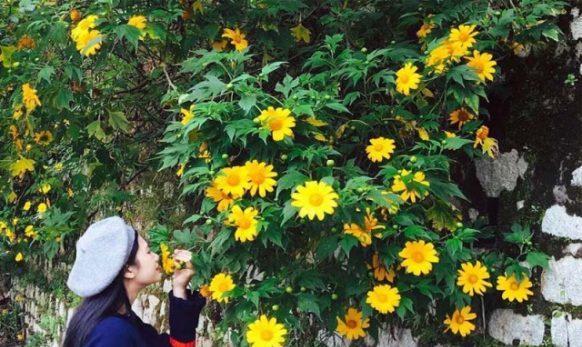 Hoa dã quỳ vàng rực khắp Đà Lạt vào tháng 11. Ảnh: Internet