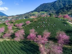 Ấn tượng hoa anh đào nở trên đồi chè Ô Long (Sa Pa)