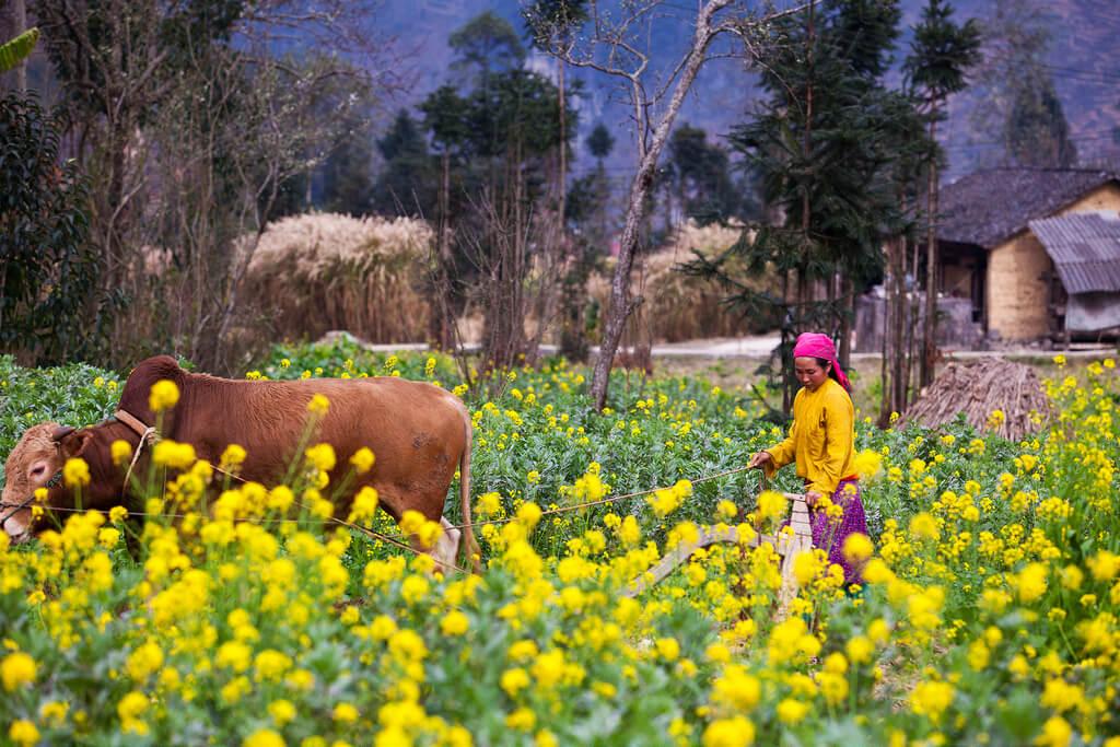 Mùa hoa cải vàng rực rỡ ở Hà Giang. Hình: Sưu tầm