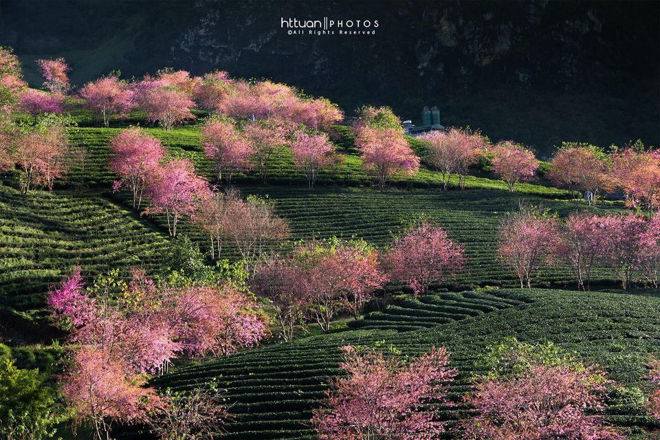 Hoa mai anh đào nở rộ ở Ô Quy Hồ. Hình: Hoàng Trọng Tuấn