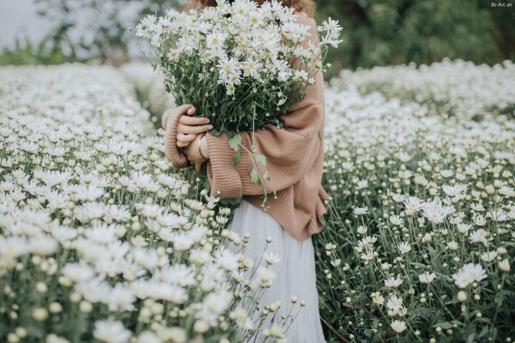 Vườn cúc họa mi trắng ngần. Hình: Sưu tầm
