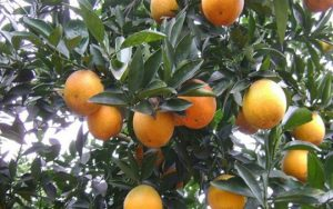 Mùa đông có loại quả đặc trưng gì?