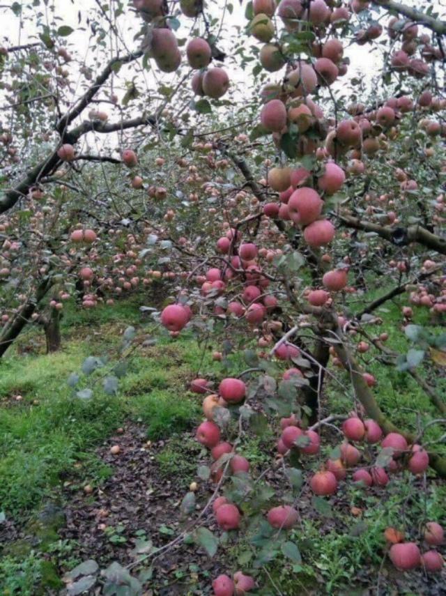 Vườn táo vào mùa đông. Ảnh: Internet