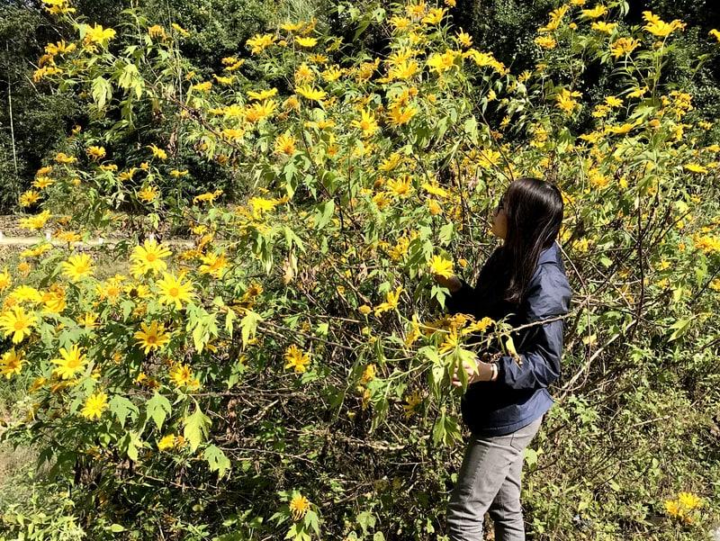 Rực rỡ mùa hoa dã quỳ Bát Xát