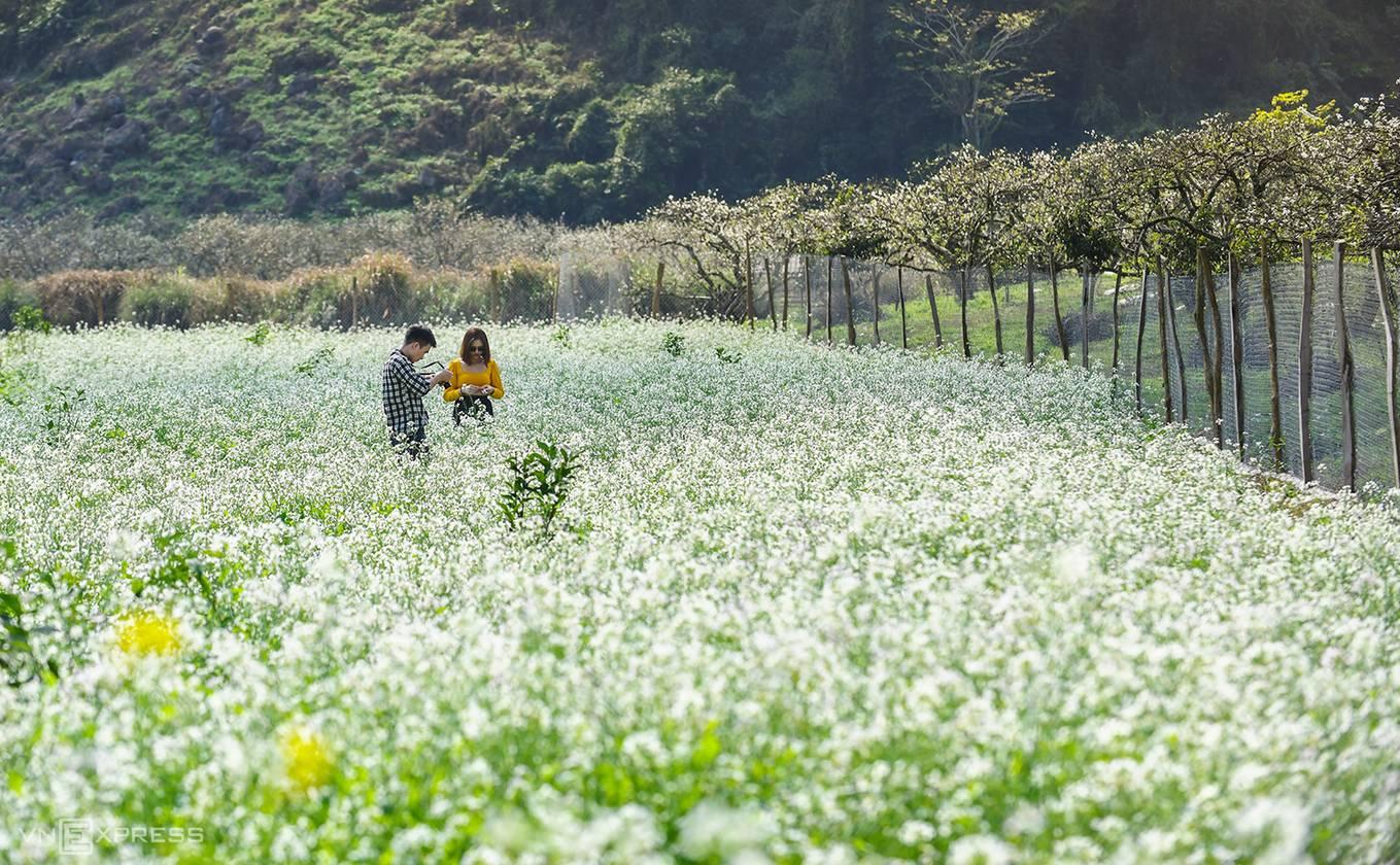 Mộc Châu ngập tràn trong sắc trắng của hoa cải. Hình: Sưu tầm