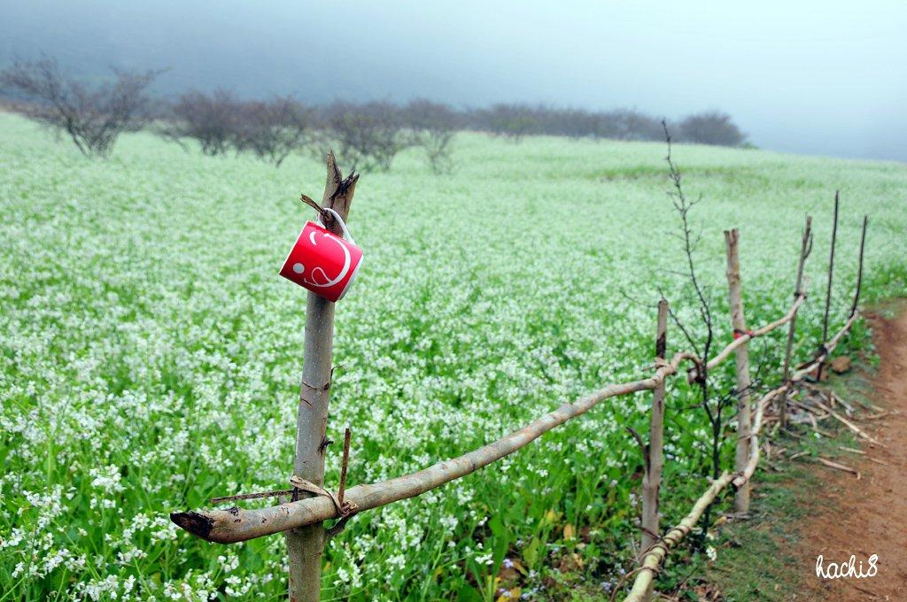 Bản Ba Phách là nơi có những cánh đồng cải đẹp nhất ở Mộc Châu. Hình: hachi8photos