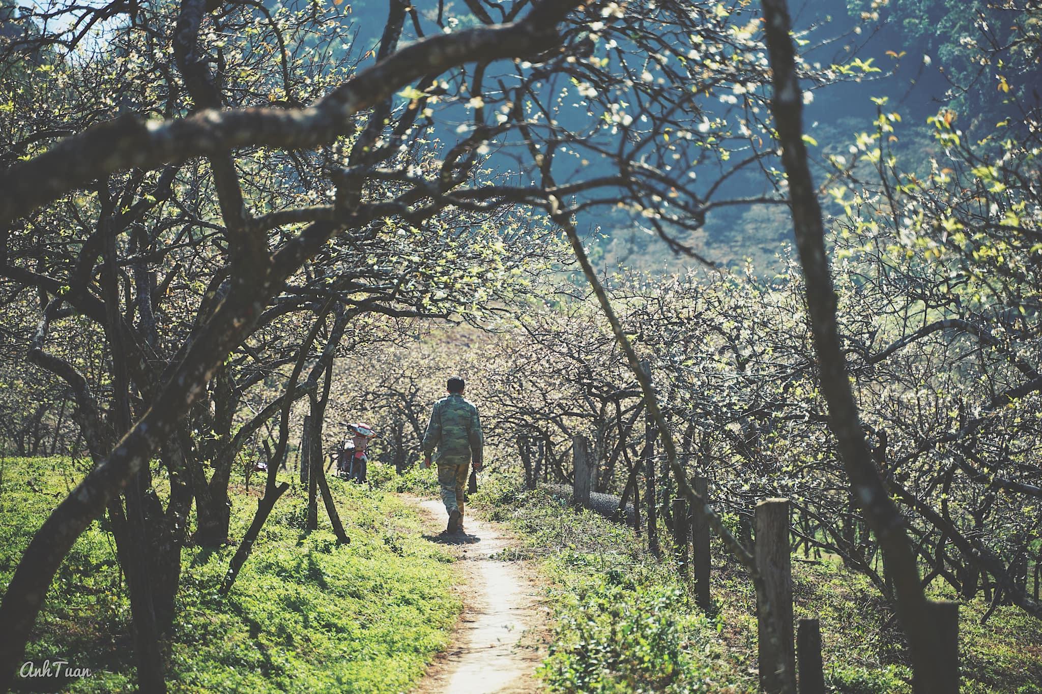 Mộc Châu mùa hoa mận. Hình: Anh Tuấn