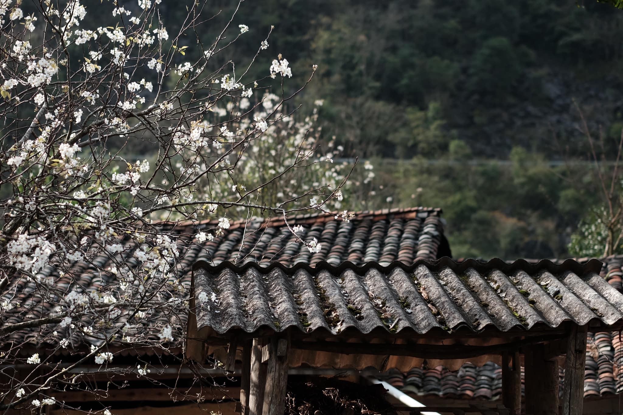 Hoa mận. Hình: Thuận